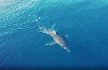 PONOVNO SNIMLJEN MORSKI PAS: Mako plivao Korčulanskim kanalom, približio se brodu s turistima