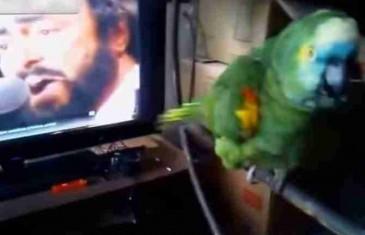 POGODILA GA PJESMA: Papagaj zapjevao uz Pavarotija (VIDEO)