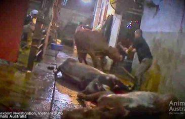 ŠOKANTNI SNIMAK IZ KLAONICE: Goveda ubijaju udarcima maljem