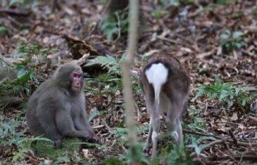 Majmun pokušao da se pari sa srnom