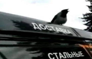 DA, I OVO JE MOGUĆE: Vrana umislila da je HOROZ, a evo kako zvuči kada se oglašava!