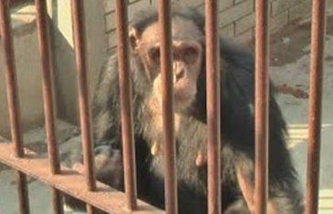 Majmunu pukao film: Djeca ga zezala u zoo-vrtu pa je odlučio da im vrati (video)