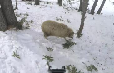 Bizarno: Jeste li na skijaškoj stazi ikad naletjeli na – ovcu? (VIDEO)