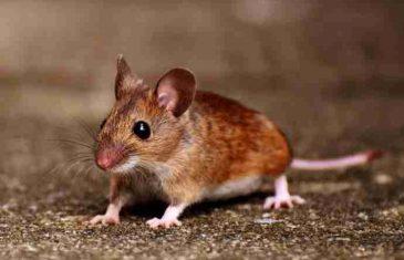 RIJEŠITE SE MIŠEVA I OSTALIH ŠTETOČINA ZAUVIJEK: Miševi imaju strah samo od ovoga, stavite ga blizu kuće I ODMAH ĆE POBJEĆI!