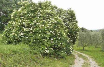 SADA JE NJEZINO VRIJEME: Ova biljka je lijek za ČIREVE, AKNE I HEMORIDE!