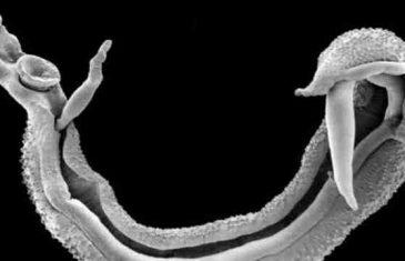 U EU POČELA PANIKA: Smrtonosni parazitski crvi napadaju Evropu zbog otvorenih granica