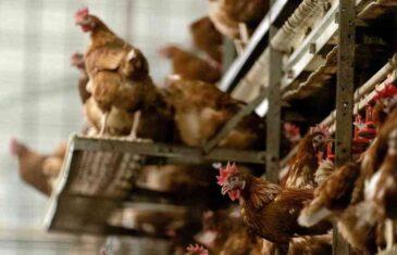JOŠ JEDNA POŠAST HARA SVIJETOM: Južna Koreja se bori sa ptičjim gripom, alarmantno u Evropi! Na hiljade ptica će biti uništeno
